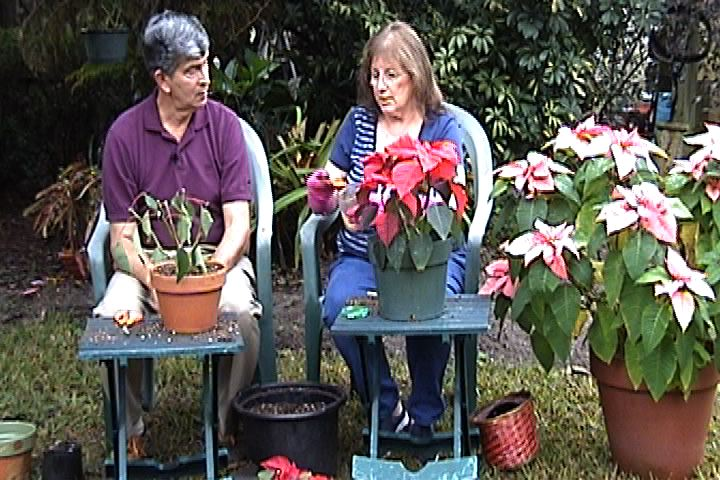 Save the Poinsettias!